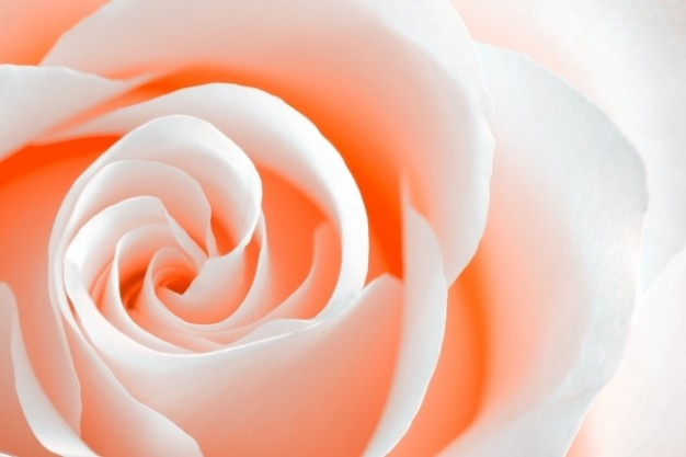 high-key-rose-macro---peach-orange_61-1666
