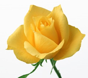yellow-Roses-for-Valentines-day-7
